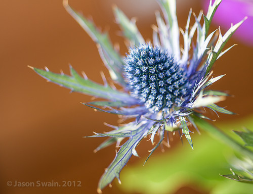 Sea Holly - Eryngium Maritimum