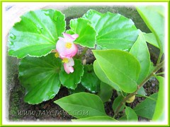 Is it Begonia 'Eureka Green Leaf Pink'? Spotted on early March 2012
