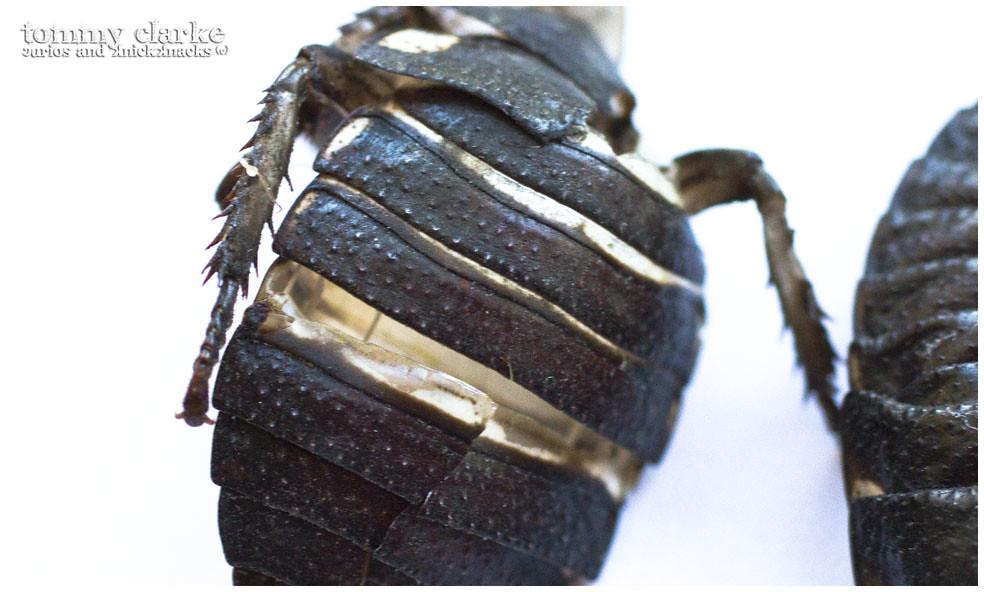 cockroach (exoskeleton above)