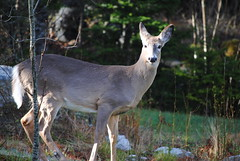 Posing deer