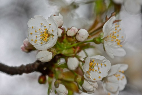 Cherry Blossoms ~ At Home 02