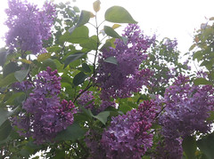 More Lilacs at Long Hill by randubnick