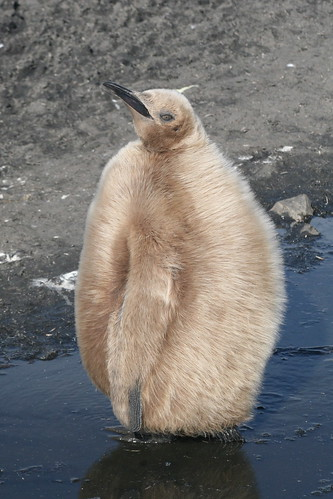 King penguin chick (brown boy) by DJG.Sydney