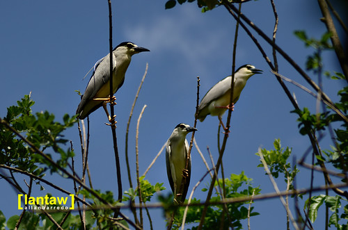 Black Crowned Night Heron Trio