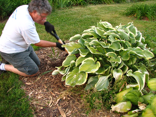 moving a large hosta