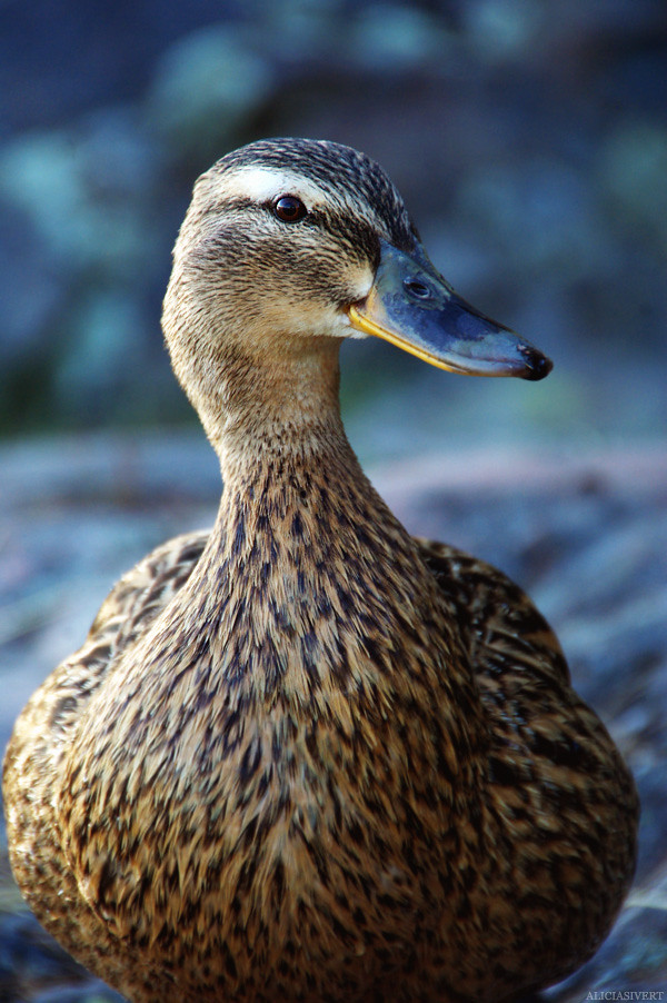 aliciasivert, alicia sivertsson, nature, duck, salighetsdag, natur, gräsand, and