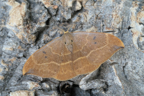Oak Hook-tip (Watsonalla binaria)