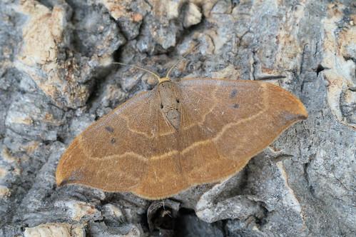 Oak Hook-tip (Watsonalla binaria)