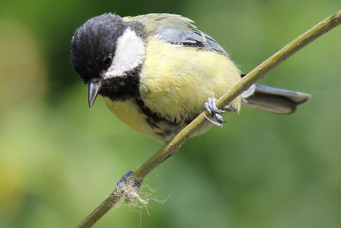 Great tit, female, white spot