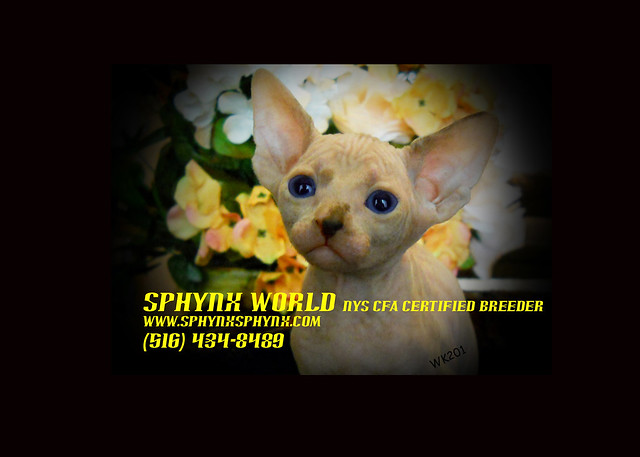 Hairless Cats FOr Sale Sphynx