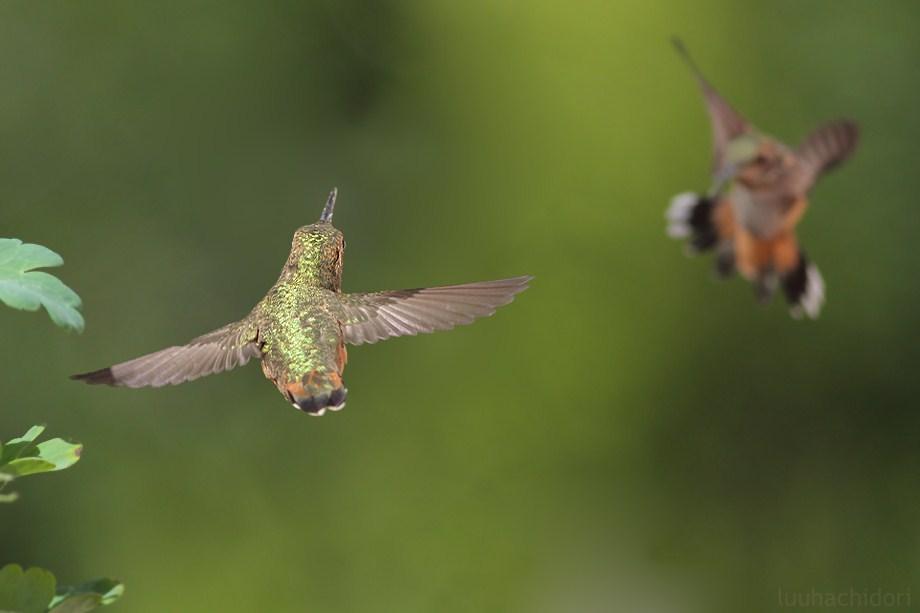 Allen's Hummingbird 053112