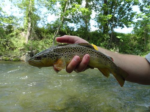 Gunpowder River Wild Brown Trout