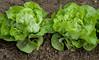 A saláta (fejes saláta) termesztése