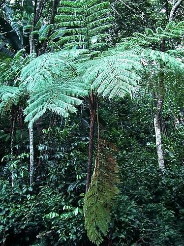 Tree Fern in Cordillera Central