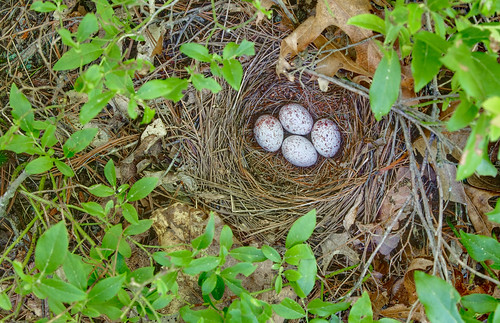 Rufous-sided Towhee nest by lotterhand