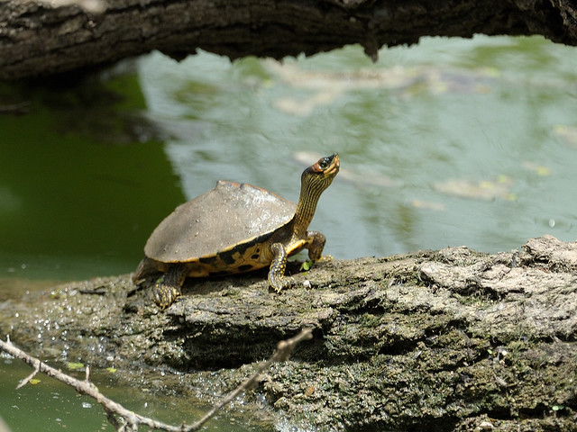 Indian roofed turtle | Flickr - Photo Sharing!