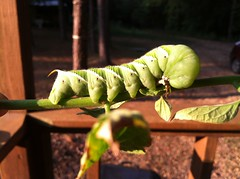 A beautiful hornworm that was found munching on the tomatoes