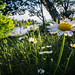 Oxeye daisies with a seaside view