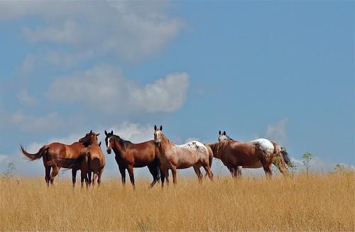 ohio horses herd