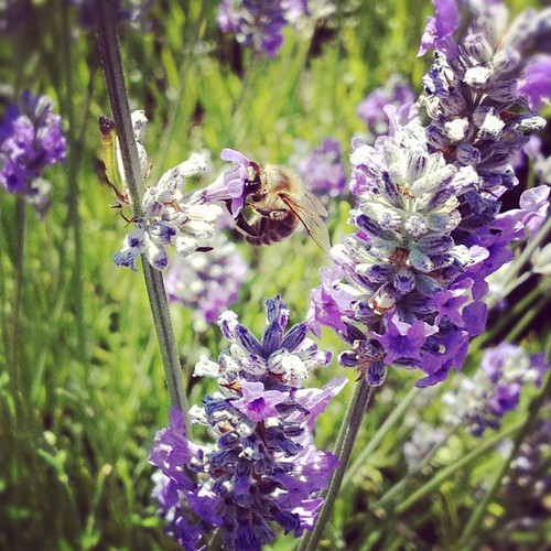 Busy #bee #lavendar in #fostercity