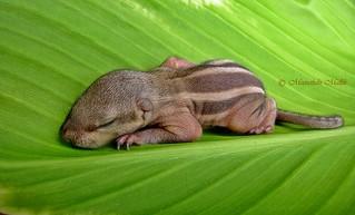 Northern Palm Squirrel (Funambulus pennantii) - Baby