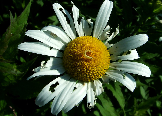 half-eaten daisy