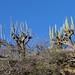 Two states of Cactus (dead and alive) - Dos etapas en la vida de Cactus; Región Mixteca, Oaxaca, Mexico por Lon&Queta