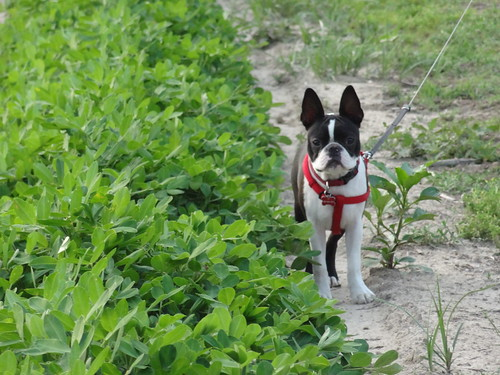 Charlie Peanut Field July 6, 2012 (3)