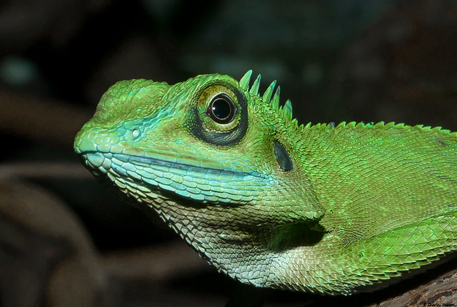 Green Crested Lizard Head Shot | Flickr - Photo Sharing!
