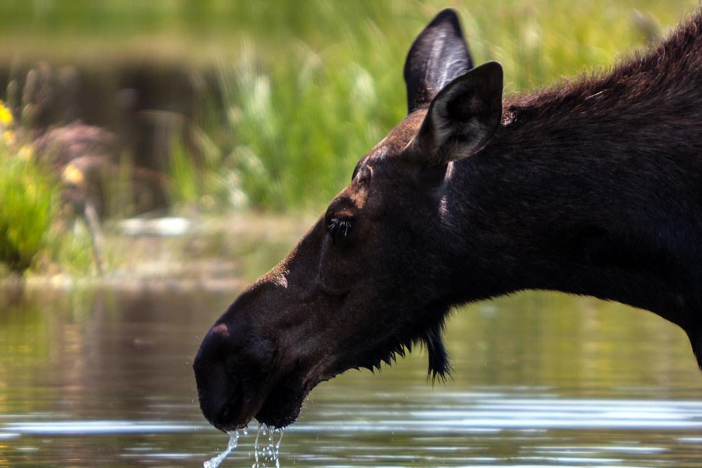 A Moose Bouche