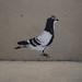 Pigeon, Stewy stencils, Ahoy, Margate