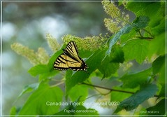 Canadian Tiger Swallowtail butterfly photography by Ron Birrell; DSC_0020