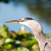 Great Blue Heron Mealtime 6