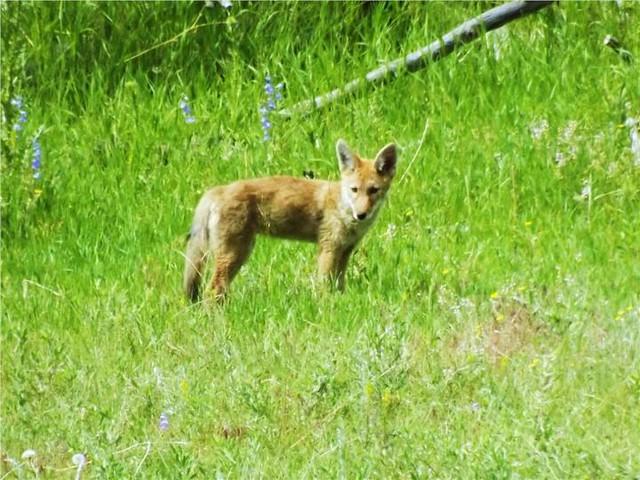 Newborn Coyote Baby Coyote by Lisa Ph...