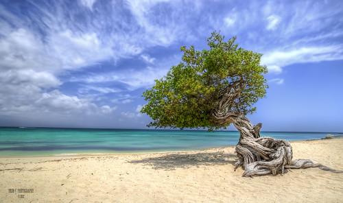 ocean travel tree beach island coast aruba caribbean dividivitree caribbeanislanddutch