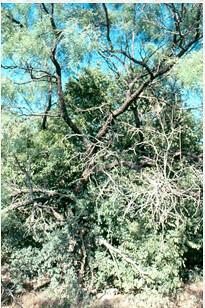 Mesquite as a nurse plant