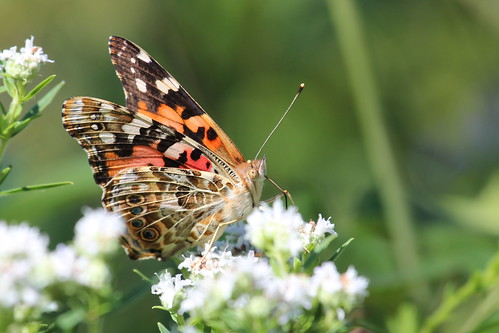 Painted Lady - female by ricmcarthur