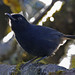Sri Lanka Whistling Thrush - endemic (Colin Brown)