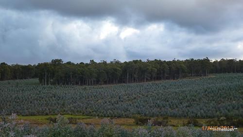 Blue-gum Plantation, second rotation
