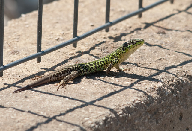 balkan wall lizard 9