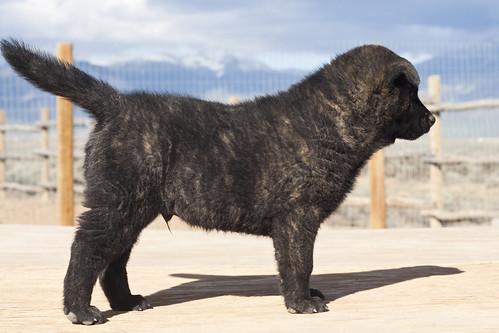 Ayu-Litter1-Day47-Puppy4-Male(Monk)-b