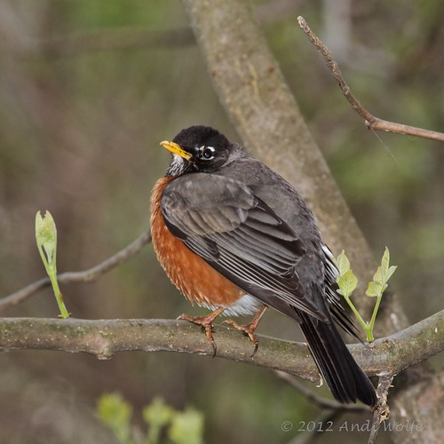 American Robin by andiwolfe