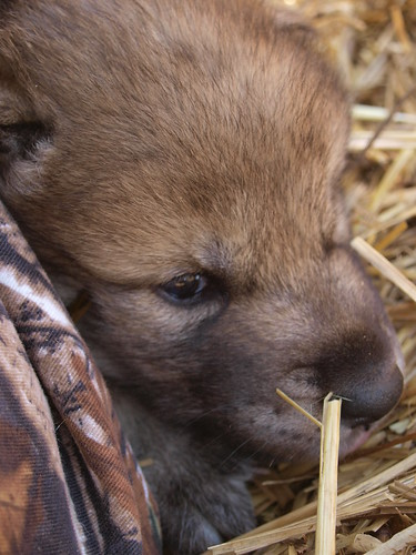 2012-04-22 Fur-Ever Wild Wolf Pups 288 by puckster55pics