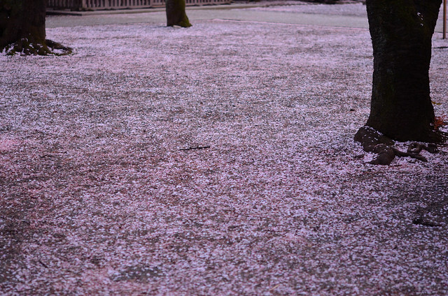 carpet of a cherry bloosom
