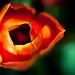 Tulip by gepixelt
