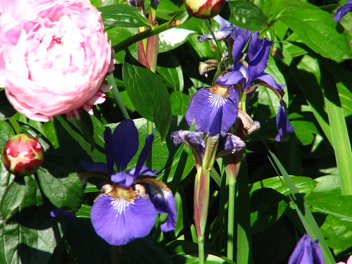 Peony 'Monsieur Jules Elie' and Siberian iris 'Caeser's Brother'