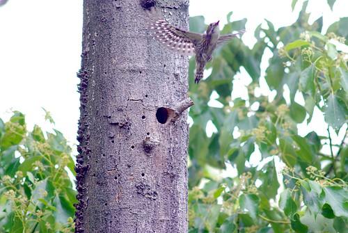コゲラの飛び立ち/Woodpecker fly out