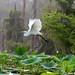Great Egret - Lake Martin, Louisiana by Image Hunter 1