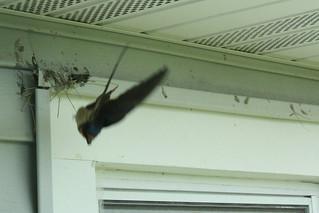 Barn swallow 5-29 2