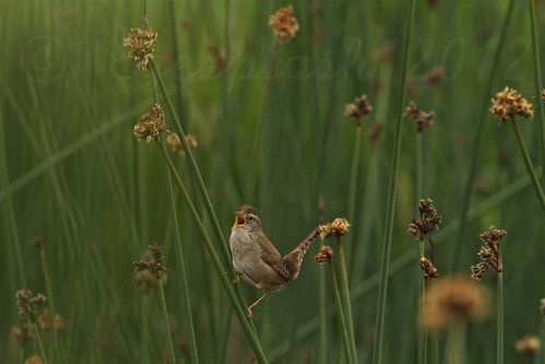 A marsh Wren tells his story in a song